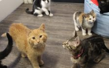 Cats and kittens at the Pets and Animal Rescue shelter in Chatham, December 22, 2016 (Photo by Jake Kislinsky)