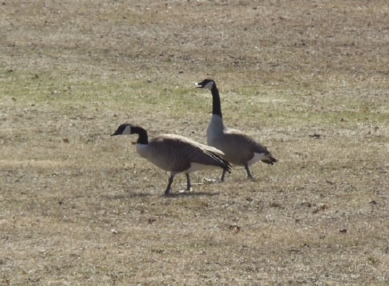 Police Investigating Geese Hit By Vehicle