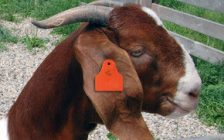 Goat featuring a traceability identification tag. (Photo courtesy Canadian National Goat Federation)