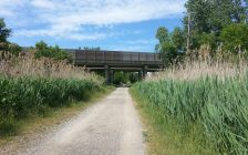 Phragmites line the Howard Watson Nature Trail. Photo submitted by City of Sarnia.