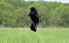 A red-winged blackbird at Point Pelee National Park, May 28, 2017. (Photo by Maureen Revait)