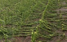 Damage to corn crops after storm in Mitchell's Bay area. July 8, 2017. (Photo courtesy of Leon Leclair).