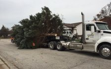 A giant blue spruce, donated by the Yates family on Cobblestone Cres., is set on a flatbed to be moved to city hall. November 15, 2017 (Photo by Melanie Irwin)