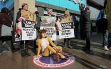 Animal rights activists with PETA protest the use of down and fur by Canada Goose at Richmond St. and Dundas St., January 30, 2018. (Photo by Miranda Chant, Blackburn News)