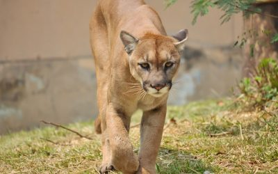 Montgomery County Traffic Cameras >> BlackburnNews.com - Cougar And Bear Sightings More Common In Huron County