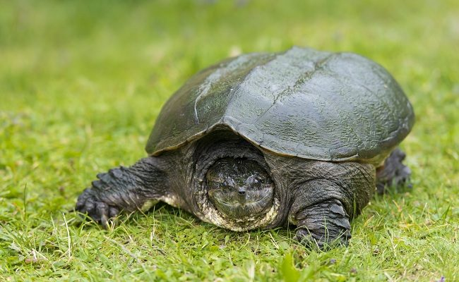 Snapping Turtle (© Can Stock Photo / mack_ch)