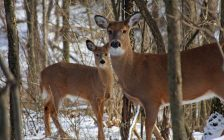 White tail deer in a wooded area. Photo courtesy of © Can Stock Photo / RonRowan