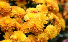 Yellow Marigolds. (Photo by © Can Stock Photo / kuarmungadd).