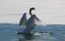 A swan stretches its wings in the sun on a glistening Sarnia Bay Mar. 18, 2018 (BlackburnNews.com photo by Dave Dentinger)