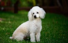 File photo of a poodle. (Photo courtesy of © Can Stock Photo / dimarik)