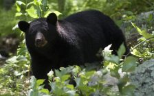 Black Bear. (Photo courtesy of © Can Stock Photo / CCarvell)