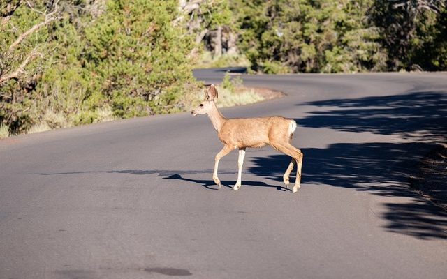 A deer crossing a roadway. File photo courtesy of © Can Stock Photo / haveseen
