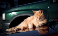 Ginger cat reclining on the hood of a vehicle. Stock image. (© Can Stock Photo / the_guitar_mann)