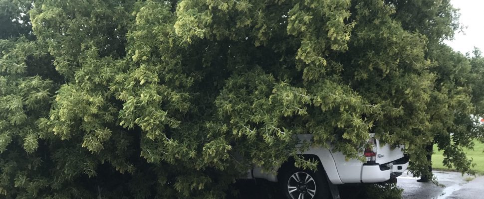 A fallen tree covers vehicles in the Olives restaurant parking lot. August 22, 2018. (Photos submitted by Madeleine Addy)