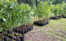 Saplings ready to be planted. (Photo from the St Clair Region CA twitter page)