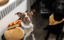 Zelda all dressed up for Halloween as a hot dog. November 8, 2018. (Photo courtesy of P.A.W.S.)