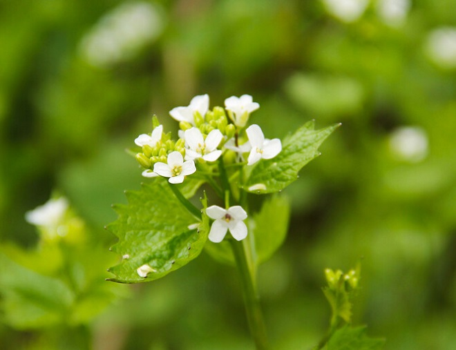 Local events being held to help remove garlic mustard plants