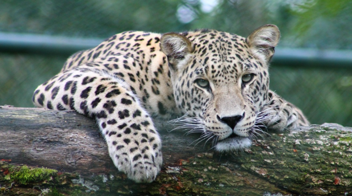 Leopard lying on a log. December 27, 2016. (Photo from Pxhere)