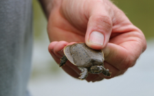 A spiny softshell turtle. Photo courtesy of the Upper Thames River Conservation Authority.