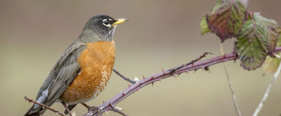 (A photo of an American Robin by Chandler Lennon for the National Audubon Society)