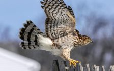 Cooper's Hawk. Photo provided by Ontario Provincial Police.
