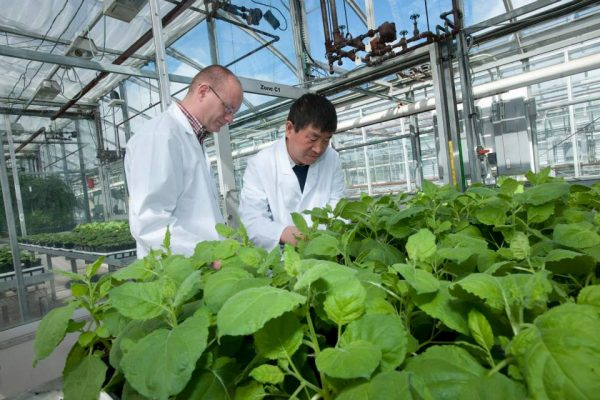 Greenhouse manager John Teat and research scientist Dr. Haifeng Wang check on the progress of plants producing antibodies in each cell. April 2015. (Photo from PlantForm's Facebook page)