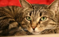 A tabby cat. File photo courtesy of © Can Stock Photo / stephconnell.
