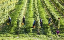 Workers harvest grapes at a farm. File photo courtesy of © Can Stock Photo / gina_sanders.