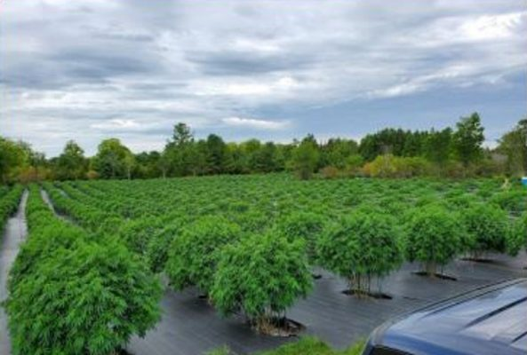 Photo of an illegal grow operation courtesy of the Ontario Provincial Police.