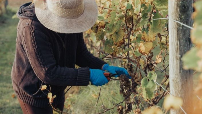 (Photo of a woman harvesting wine grapes courtesy of the Caldwell First Nation)