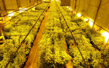 Thousands of cannabis plants found inside of a commercial building in Tillsonburg, April 8, 2021. Photo courtesy of OPP.