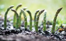 Young asparagus sprouts.(© Can Stock Photo / Smit)