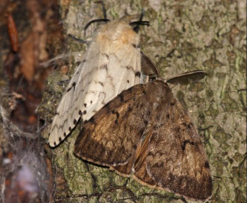 File photo of two Gypsy Moths courtesy of © Can Stock Photo / ca2hill