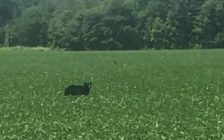 A black bear spotted in a field near Parkhill. (Screenshot of a submitted video)