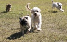 Dogs running at a park. © Can Stock Photo / dosecreative